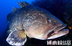 石斑鱼开年喜迎45元/斤高价,创历史新高!