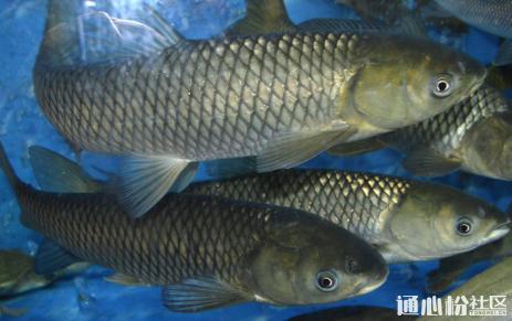 草鱼价冲击7元/斤!年前继续涨?来看看全国各地究竟养了多少鱼!