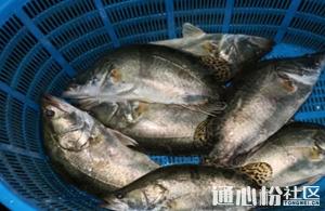广东地区鳜鱼价格开始回调,江苏、湖南继续上涨!