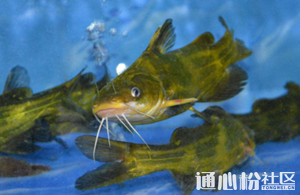 黄颡鱼价格较上周有所上涨,预计后市行情波动不大!