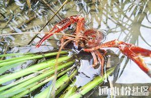 小龙虾养殖过程中如何正确进行肥水?