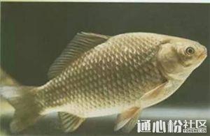 全国各地鲫鱼最新价格行情一览,最高涨1元/斤!