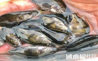 2018鳜鱼价格有望创十年新高!