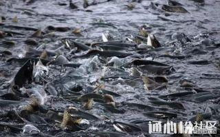 淡水鱼类的饲料投喂是一个不容忽视的重要环节