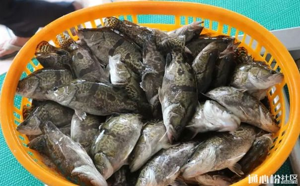 鳜鱼、加州鲈、黄颡鱼最新行情