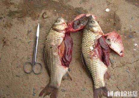 淡水鱼类肝脏问题解析