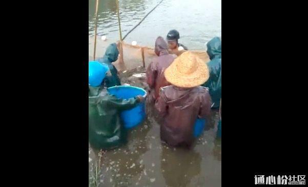成鱼价格低迷拖累鱼苗,育苗户迟卖个把月少赚了上百万!