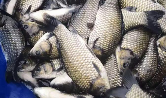 多品种全线上涨,鲫鱼蠢蠢欲动!沈阳8两鲫鱼卖到7.3元/斤,明年鲫鱼该怎么养?