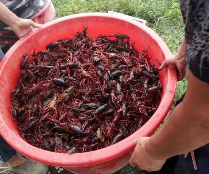 全线暴涨!虾农要乐坏了,1两以上小龙虾最高卖到55元/斤