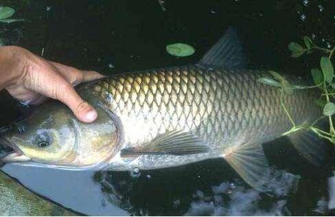 """再涨0.2元/斤!草鱼存量继续减,别让这些病害成为鱼价回暖的""""绊脚石""""!"""
