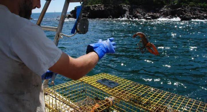 前后夹击,美国龙虾产业恐失欧盟和中国两大市场