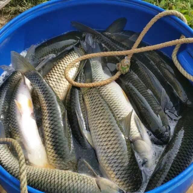 华中草鱼种大面积发病,多地成鱼涨0.2元/斤!