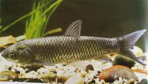 不管你信不信,草鱼疾病是喂出来的!还能喂回去吗?