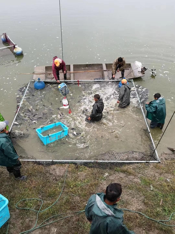 鲫鱼最大主产区新鱼大量上市,引全国鱼价急速降温,珠三角最高降1.5元/斤!