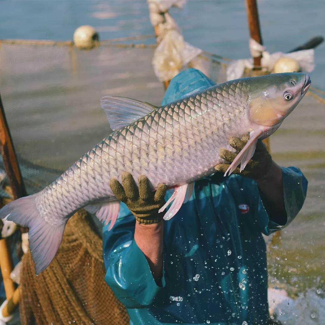 养殖户排队卖鱼!鱼价真的要上涨了?