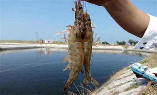 下降40%!白虾进口量骤减,对国内市场有何影响?虾价还能涨吗?