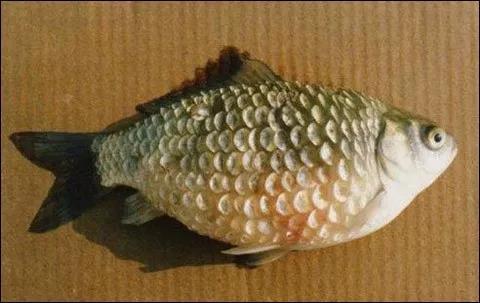 """头痛!它被称为""""鱼癌"""",无数鱼塘因它全军覆没,他找到了解决方法"""