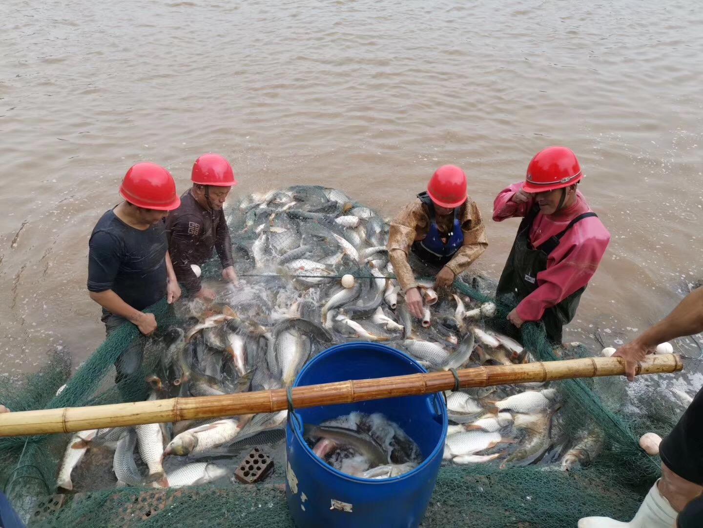 多地鱼价回落0.1-0.2元/斤,国庆草鱼或迎来上市高峰!