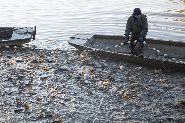 12月29新草、鲫、鲢、鳙等水产品各地批发市场价