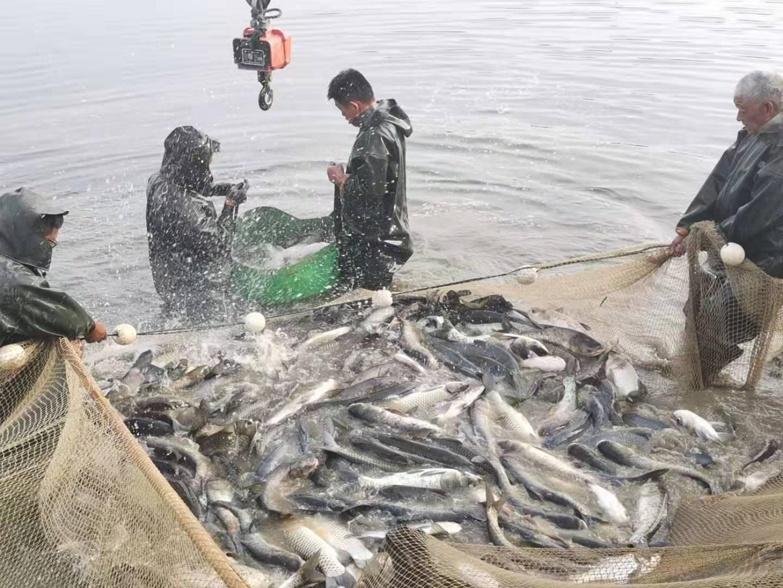 1月20新草、鲫、鲢、鳙等水产品各地批发市场价